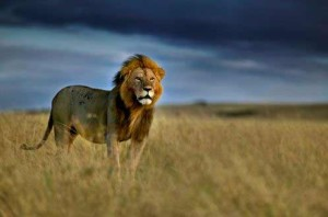 How-Tourism-is-Killing-Africa's-Lions