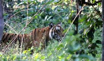 A_Bengal_Tiger_spotted_in_Jim_Corbett_National_Park,_Uttarakhand,_India