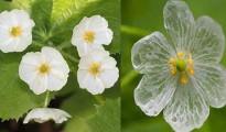 Diphelleia-grayi-skeletal-flower